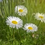 Daisy flowers — Stock Photo #48359485