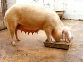 Domestic pig — Stock Photo