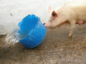 Pig with wather trough — Stock Photo