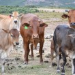 Cattle herd - Stock Photo