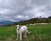 Anatolian sheepdog — Stock Photo