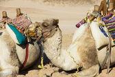 çölde deve — Stok fotoğraf