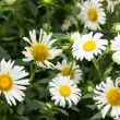 Flowers of Chamomile — Stock Photo
