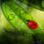 Ladybird on a leaflet — Stock Photo #26650515
