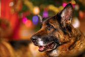 German shepherd — Stock Photo