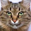 Stock Photo: Portrait of green-eyed cat