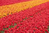 Spring tulpen — Stockfoto