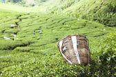 Tierras altas de Cameron, plantación de té en Malasia — Foto de Stock