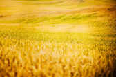 Golden Rye Field Background — Stock Photo