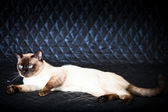 Blue eyed domestic cat of Thai breed. — Stock Photo