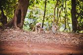 Mating monkeys — Stock Photo