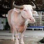 Albino Buffalo — Stock Photo