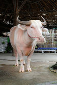 Albino Buffalo — Stock Photo