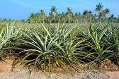 Pineapple field — Stock Photo