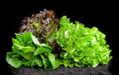 Lettuces — Stock Photo