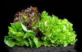 Lettuces — Stock Photo