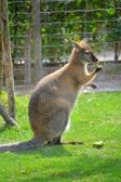 Wallaby — Stock Photo