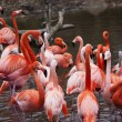 Flock of flamingos - Stock Photo