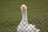 Goose behind the fence — ストック写真