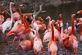 Flock of flamingos — Stock Photo