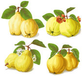 Set of ripe quinces — Stock Vector