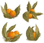 Set of ripe physalis — Stock Vector