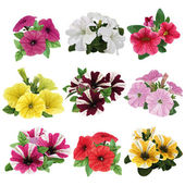 Set of multicolored petunias — Stock Vector