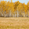 Grass Field with Aspen Trees — Stock Photo