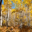 Aspens in Fall — Stock Photo
