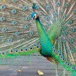 Beautiful peacock — Stock fotografie