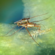 Waterstrider species mix together. — Stock Photo #13183467