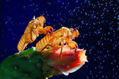 Cicada slough on a blue background. — Stock Photo
