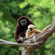 Two white handed Gibbon or Lar Gibbon — Stock Photo