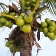 Green coconut at tree — Stock Photo #29262145