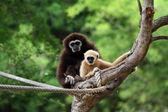 Two white handed Gibbon or Lar Gibbon — Stock Photo
