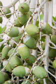 Green palm fruits hanging on tree — Stock Photo