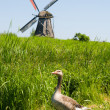 A duck against the windmill — Stock Photo
