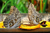 Owl Butterflies — Stock Photo