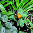 Zebra Butterfly — Stock Photo