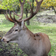 Horned deer — Stock Photo #32788393