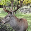 Horned deer — Stock Photo