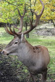 Horned deer — Foto de Stock