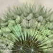 Dandelion — Stock Photo #13126486