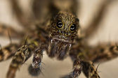 Portrait of spider with big eye's — Stock Photo