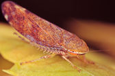 Treehopper — Stock Photo