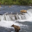 Grizzly Bears fishing for salmon in Katmai National Park in Alaska — Stock Photo