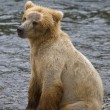 Brown Bear cub in Katmai National Park in Alaska — Stock Photo