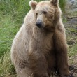 Stock Photo: Brown Bear in Katmai National Park in Alaska