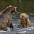 Stock Photo: Se_000005034Grizzly Bears fighting over fishing territory in Katmai National Park in Alaska