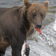 Se_000005045AlaskBrown Bear with fresh catch of salmon in Katmai National Park — Stock Photo #12825448
